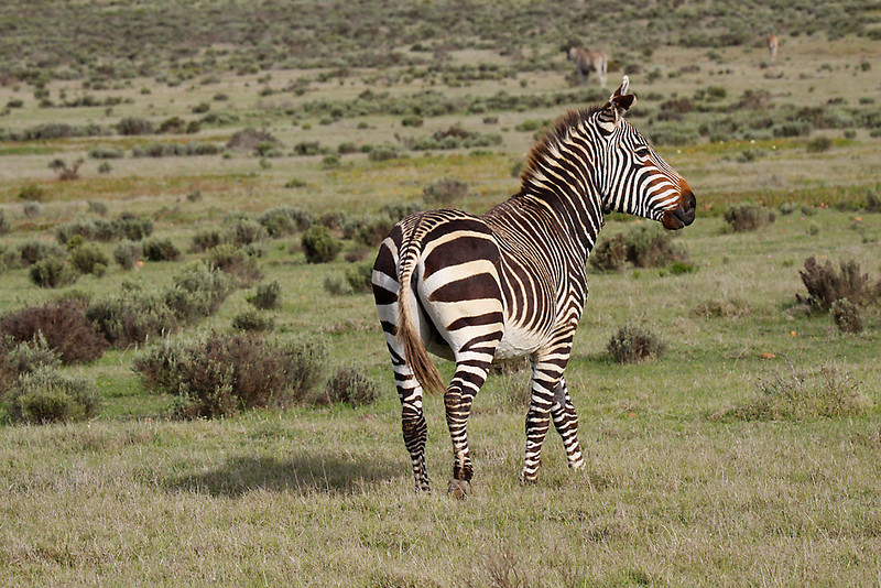 Cape Mountain Zebra, De Hoop Nature Reserve. An endangered species; note stripes do not extend onto belly as in Burchell's or Plains Zebra.<br /> Aug. 14, 2009<br /> ©Peter Candido All Rights Reserved
