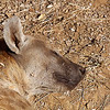 Spotted Hyena, sleeping
