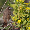 Cape Bulbul, De Hoop Nature Reserve.<br /> Aug. 14, 2009<br /> ©Peter Candido All Rights Reserved