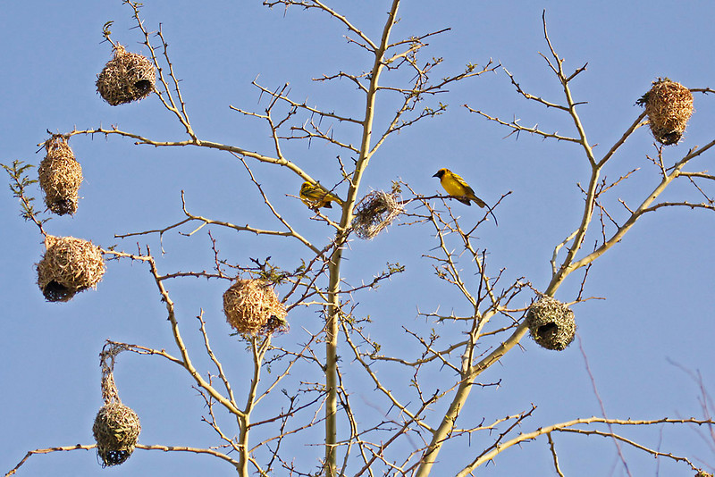 Southern Masked-Weaver, colony