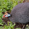 Helmeted Guineafowl<br /> Kirstenbosch Botanical Gardens, Cape Town<br /> Aug. 7, 2009<br /> ©Peter Candido All Rights Reserved