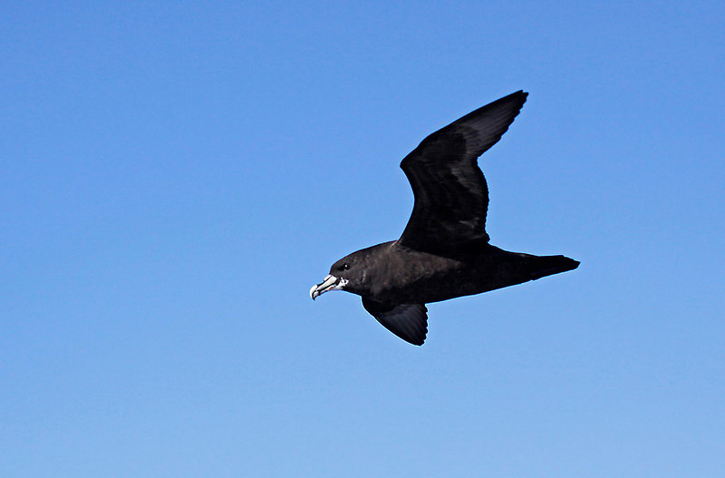 White-chinned Petrel off Cape of Good Hope<br /> Aug. 8, 2009<br /> ©Peter Candido All Rights Reserved