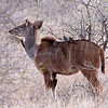 Greater Kudu female with Red-billed Oxpeckers.