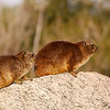 Rock Hyrax pair, Augrabies Falls National Park.<br /> Aug. 18, 2009<br /> ©Peter Candido All Rights Reserved