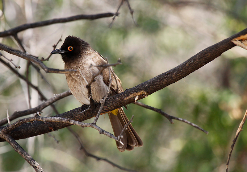 African Red-eyed Bulbul, Karoo National Park.<br /> Aug. 16, 2009<br /> ©Peter Candido All Rights Reserved