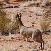 Klipspringer,  Augrabies Falls National Park.<br /> Aug. 19, 2009<br /> ©Peter Candido All Rights Reserved