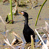 Reed Cormorant, Strandfontein Sewage Ponds, Cape Town<br /> Aug. 9, 2009<br /> ©Peter Candido All Rights Reserved
