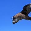 Brown Skua off Cape of Good Hope<br /> Aug. 8, 2009<br /> ©Peter Candido All Rights Reserved
