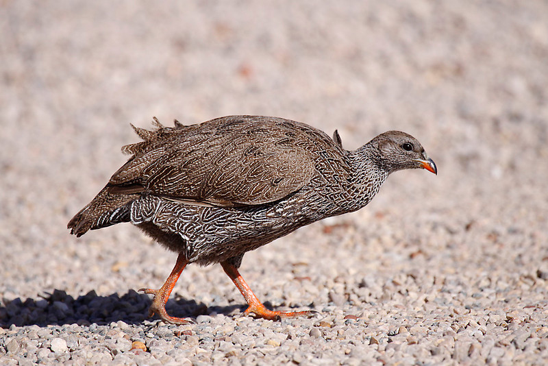 Cape Spurfowl, De Hoop Nature Reserve.<br /> Aug. 14, 2009<br /> ©Peter Candido All Rights Reserved