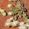 An interesting succulent in flower. Near Springbok, Northern Cape.  Part of the area known as Namaqualand, world famous for its flower displays after winter rains.<br /> Aug. 21, 2009<br /> ©Peter Candido All Rights Reserved