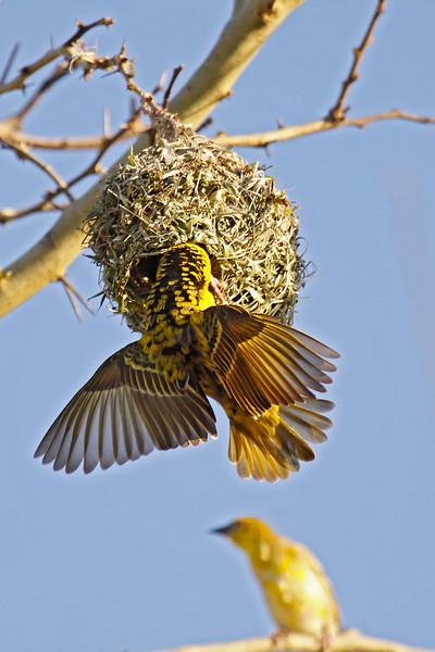 Southern Masked-Weaver