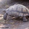 Leopard Tortoise, Geochelone pardalis.  One of the five largest tortoises in the world, this individual may be nearly 100 years old.  Karoo National Park.<br /> Aug. 16, 2009<br /> ©Peter Candido All Rights Reserved