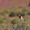 Capped Wheatear, Goegap Nature Reserve, Springbok.<br /> Aug. 21, 2009<br /> ©Peter Candido All Rights Reserved