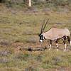 Gemsbok, Goegap Nature Reserve near Springbok, Northern Cape.<br /> Aug. 21, 2009<br /> ©Peter Candido All Rights Reserved