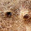 "Closeup of communal Social Weaver nest, showing entrances to individual ""apartments"", near Augrabies Falls National Park.<br /> Aug. 19, 2009<br /> ©Peter Candido All Rights Reserved"