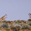 Giraffe female with calf, Augrabies Falls National Park.<br /> Aug. 18, 2009<br /> ©Peter Candido All Rights Reserved