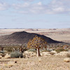 Desert scrub with Quiver Trees, near the Namibian border.<br /> Aug. 19, 2009<br /> ©Peter Candido All Rights Reserved