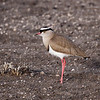 Crowned Lapwing<br /> Kruger National Park<br /> July 27, 2009<br /> ©Peter Candido All Rights Reserved