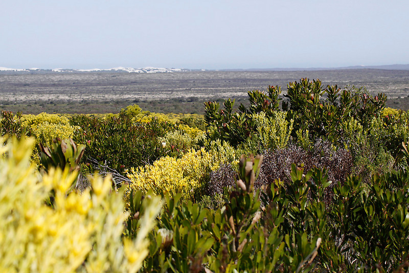 Fynbos, the endemic shrubby flora of the Southern Cape, De Hoop Nature Reserve.<br /> Aug. 14, 2009<br /> ©Peter Candido All Rights Reserved