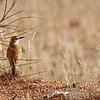 Karoo Long-billed Lark. Desert near the Namibian border.<br /> Aug. 19, 2009<br /> ©Peter Candido All Rights Reserved