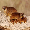 Rock Hyrax family basking in the morning sun, Augrabies Falls National Park.<br /> Aug. 18, 2009<br /> ©Peter Candido All Rights Reserved