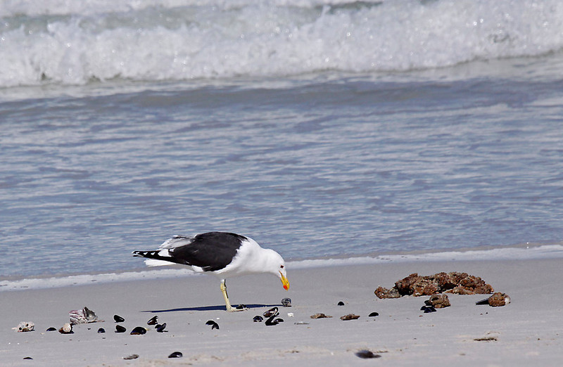Kelp Gull, Cape Town<br /> Aug. 9, 2009<br /> ©Peter Candido All Rights Reserved