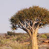 Quiver Tree, a large species of aloe, Augrabies Falls National Park.<br /> Aug. 18, 2009<br /> ©Peter Candido All Rights Reserved