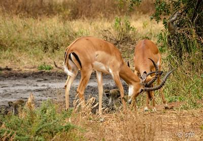 Impala Tussel