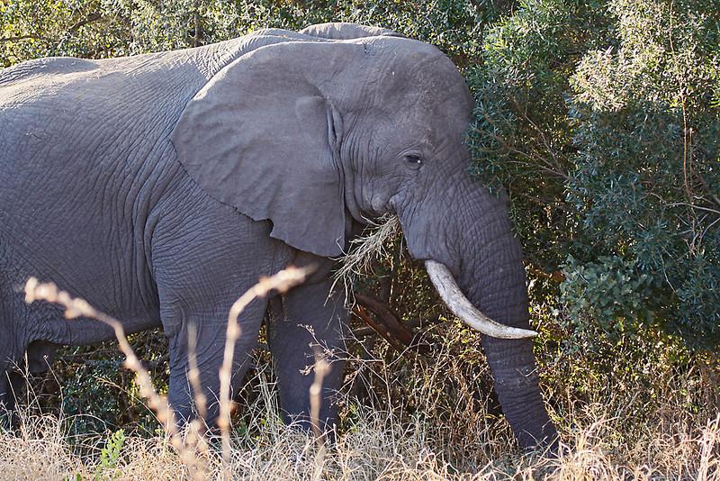 African Elephant bull, feeding on grass.