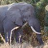 African Elephant bull, feeding on grass.