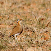 Burchell's Courser, an uncommon and difficult to find desert species.<br /> Desert near the Namibian border.<br /> Aug. 19, 2009<br /> ©Peter Candido All Rights Reserved