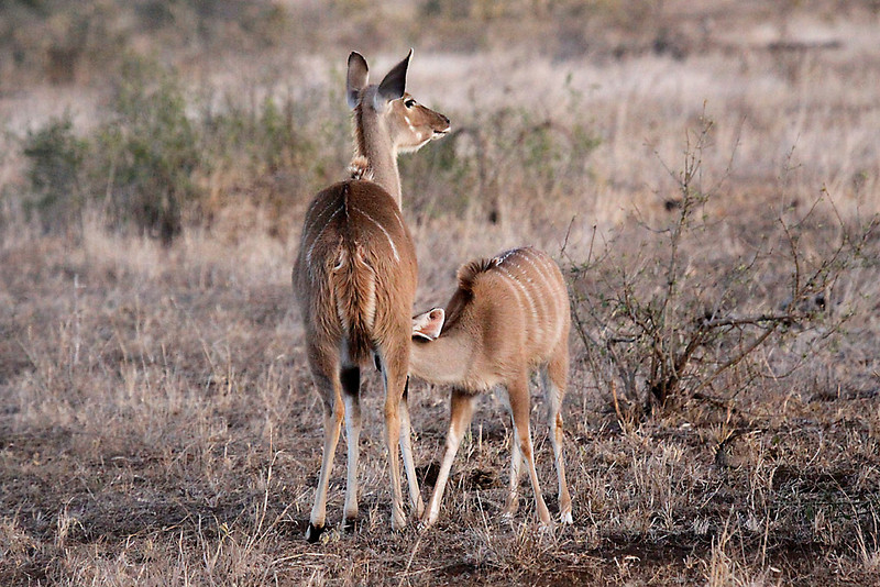 Greater Kudu female with nursing calf