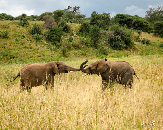 Teenage Male Elephants Sparring
