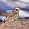 Cape Bunting<br /> Sani Pass, Drakensberg Range<br /> Aug. 6, 2009<br /> ©Peter Candido All Rights Reserved