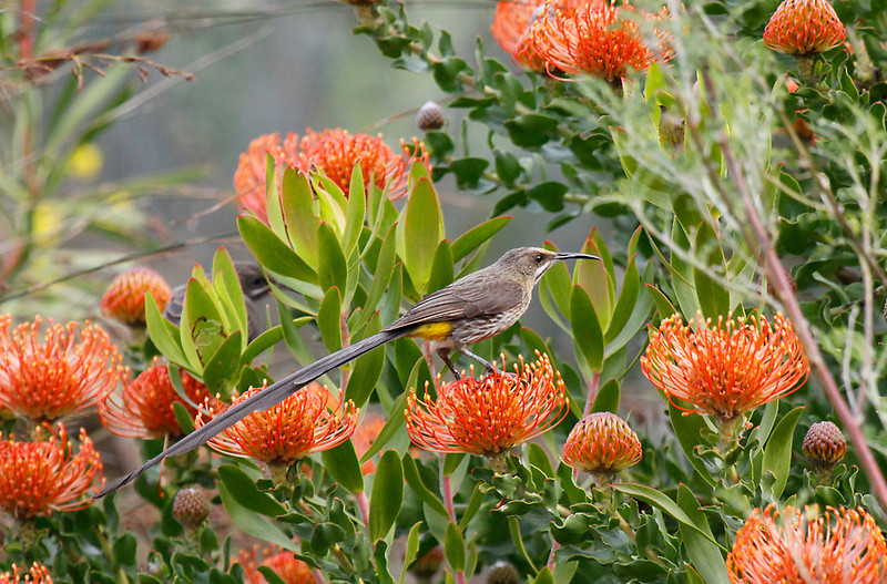 Cape Sugarbird on Proteas<br /> Kirstenbosch Botanical Gardens, Cape Town<br /> Aug. 7, 2009<br /> ©Peter Candido All Rights Reserved