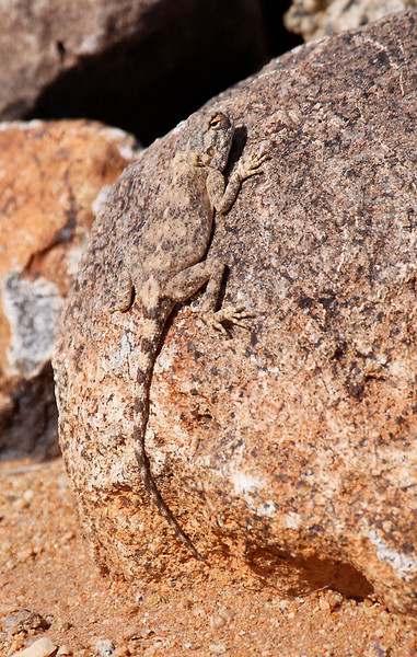 Agama Lizard,  Augrabies Falls National Park.<br /> Aug. 18, 2009<br /> ©Peter Candido All Rights Reserved