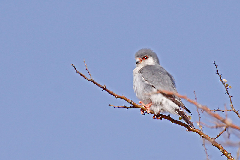 Pygmy Falcon,  Augrabies Falls National Park.<br /> Aug. 18, 2009<br /> ©Peter Candido All Rights Reserved