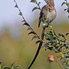 Cape Sugarbird<br /> Kirstenbosch Botanical Gardens, Cape Town<br /> Aug. 7, 2009<br /> ©Peter Candido All Rights Reserved