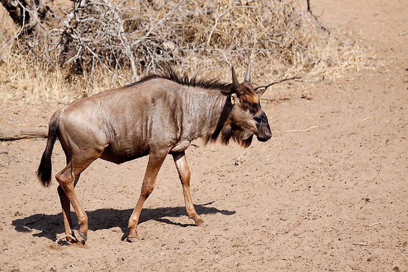 Blue Wildebeest, juvenile