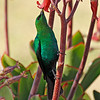 Malachite Sunbird, Karoo National Park.<br /> Aug. 16, 2009<br /> ©Peter Candido All Rights Reserved