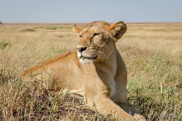 Lion Serenity