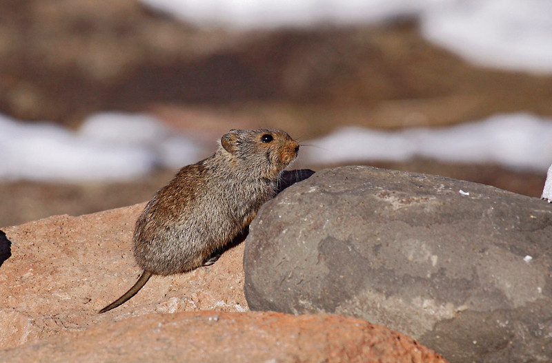 Sloggett's Ice Rat<br /> Sani Pass, Drakensberg Range<br /> Aug. 6, 2009<br /> ©Peter Candido All Rights Reserved