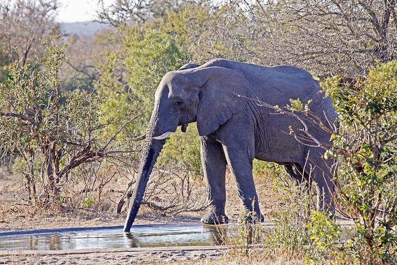African Elephant bull, drinking