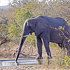 African Elephant bull, drinking
