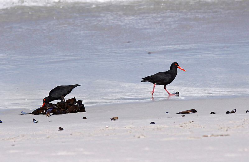 African Black Oystercatcher, West Coast National Park<br /> Aug. 9, 2009<br /> ©Peter Candido All Rights Reserved