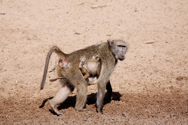 Chacma Baboon, female with young