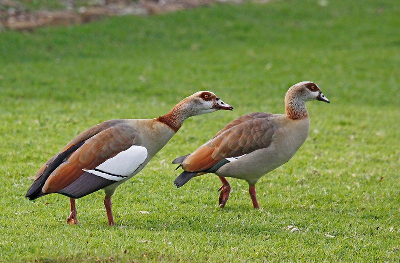 Egyptian Goose pair<br /> Kirstenbosch Botanical Gardens, Cape Town<br /> Aug. 7, 2009<br /> ©Peter Candido All Rights Reserved