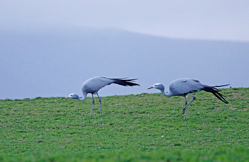 Blue Cranes, West Coast National Park.  South Africa's national bird.<br /> Aug. 10, 2009<br /> ©Peter Candido All Rights Reserved