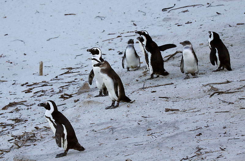 African Penguins, Boulders Beach, Cape Town<br /> Aug. 8, 2009<br /> ©Peter Candido All Rights Reserved