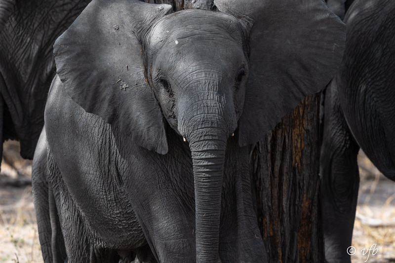 Curious Young Elephant